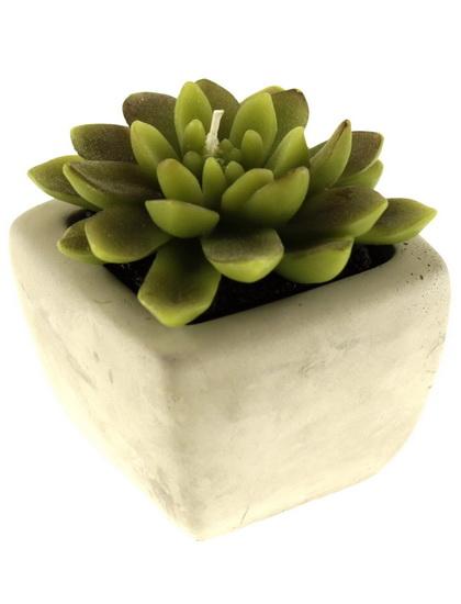 Chandelle plante en pot